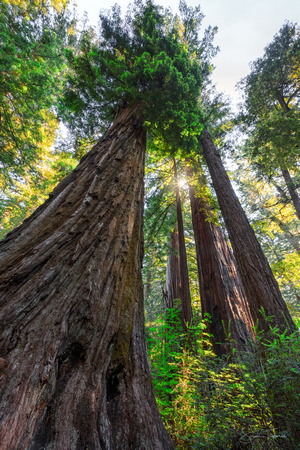 Coastal Redwood Forest