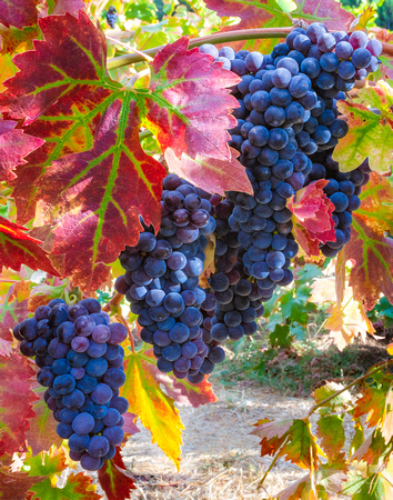 On the Vine In Color, Napa Valley