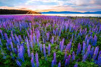 Lake Tahoe Lupine Dream
