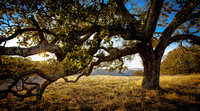 Hearty Live Oak