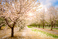 Capay Valley Almond Bloom
