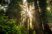 Magical Redwood Forest