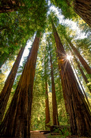 Majestic California Redwoods