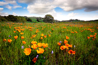 Field of Poppies, Mount Diablo